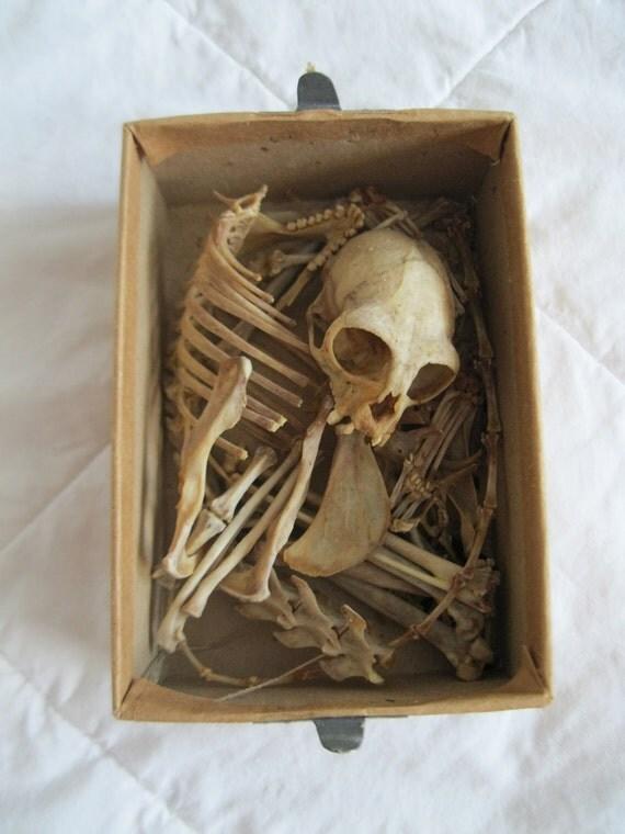 RESERVED FOR NN -Fully Grown Primate Skeleton