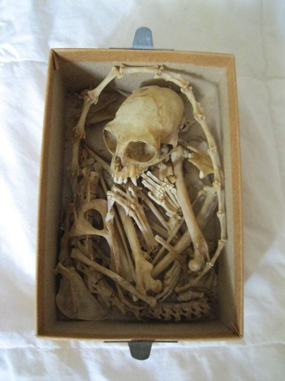RESERVED FOR G- Fully Grown Primate Skeleton