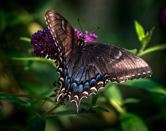 Black Swallowtail Butterfly Print, Nature Photography 8x10 (and larger) Fine Art Wall Decor, Purple Flower Natural Photograph