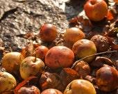 Fall(en) Apples (8x10 Photo)