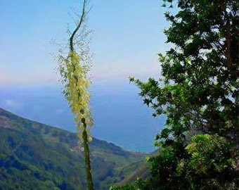Mountain Yucca and Sea  - Big Sur, California Photo Greeting Card