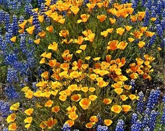 Poppies and Lupine - Big Sur, California Photo Greeting Card