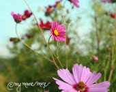 "11x14 Canvas Gallery Wrap-Fine Art Photography-""Free Spirits""-Summer-Cosmos-Flowers-Pink-Garden - mymainemuse"