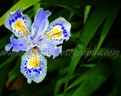 Flower print - species: Iris Japonica - FREE SHIPPING
