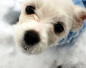 Maltese Puppy Playing in the Snow Print 8x10