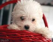 Cute Maltese Puppy Print 8x10