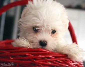 Cute Maltese Puppy Print 8x10