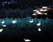 Swans at Night - Deep Blue and Purple - Bray, County Dublin, Ireland Landscape Photography