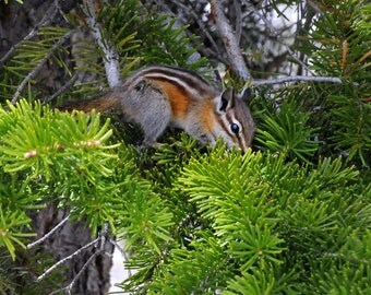l See You. | Nature Photography Chipmunk Tree Photo Print on Snow Backdrop, Cascade ID Rockies Animal Wall Print Fine Art Photography 8x10