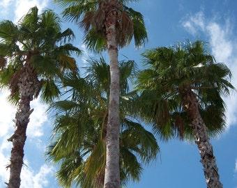 FLORIDA PALM TREES ( 2 )