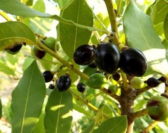 Bay Laurel Tree, Bay Tree 20 Seeds (Daphne - Laurus nobilis - Sweet Bay Laurel Tree )