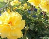 Rose Flower Photograph Yellow Fine Art Print Nature Macro Photo Home Decor 8x10
