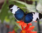 Heliconius Sapho Butterfly Blue Butterfly on Orange Flower 8x10  -Fine Art Photography-