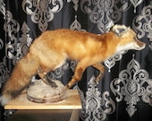 Taxidermied Fox Mount (Full-Bodied in Walking Pose)