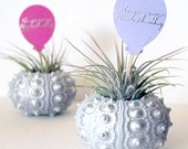 happy birthday // air plant  // urchin terrarium // UPGRADED DELIVERY