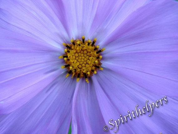 Purple Cosmos, Beautiful Flower with Golden Stars, Flower Mandala, Photograph or Greeting card