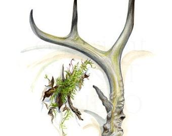 Antler and Moss drawing, original art, deer, men, Natural History, nature, woodland, rustic, gifts, decor,