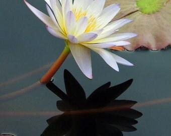 Yin and Yan of Water Lilies - Photo Art Print 8x10