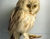 Owl Photograph - Natural History Art Print - Wise Owl