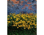 Black-Eyed Susans Annapolis Maryland State Flower on Rustic Brick Wall Photograph