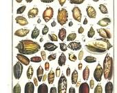 Shells 2 Sided Seba Book Print Cabinet of Natural Curiosities p277