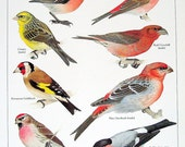 Bird Print Chaffinch, Purple Finch, Canary 1980s Book Plate 1984