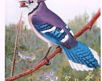 1936 Bird Print Book Plate Fuertes Bluejay P70