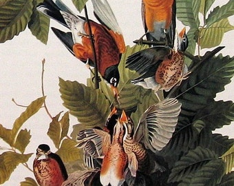 American Robin - 1979 Vintage Audubon Bird Print Book Page