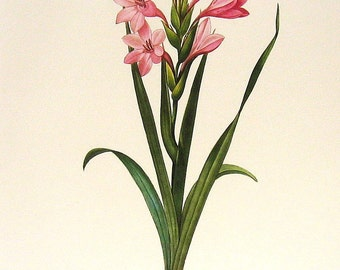 Gladiolus Laccatus 1981 Large Vintage Flower Book Plate