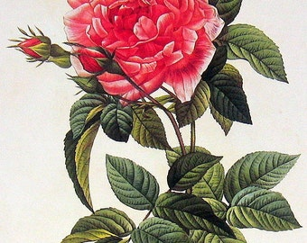 French Rose, Rosa Gallica 2 Sided Vintage Roses Book Plate p92