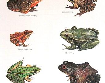 Frogs - South African Bullfrog, Common Frog, Striped Grass Frog, Marsh Frog, Northern Leopard Frog, Bullfrog Vintage 1984 Animals Book Plate