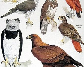 Eagle, Hawk, Buzzard Vintage 1984 Birds Book Plate