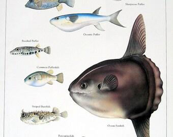 Exotic Fish, 1984 Vintage Print, Blue Spotted Boxfish, Oceanic Puffer, Porcupinefish, etc.