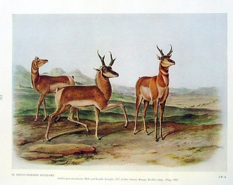 Audubon Prong Horned Antelope Print: 1951 Vintage Audubon Animal Colored Print Book Plate 2 Sided