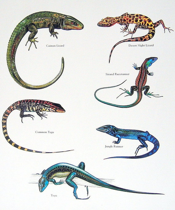 Items similar to Lizards - Caiman Lizard, Teyu, Common ...
