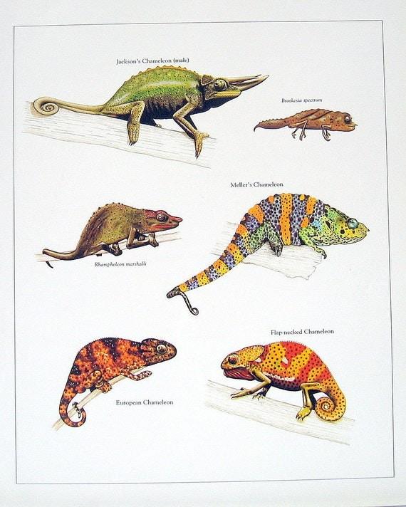 Chameleon Tattoo Designs Drawings: Jackson's Chameleon European Chameleon Flap Necked