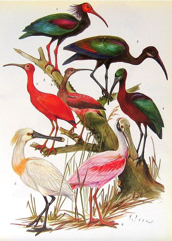 Ibises and Flamingoes 2 Sided Vintage 1972 Encyclopedia Book Plate