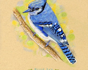 Art Print Blue Jay Blue Bird 8 x 10 inches does NOT come framed
