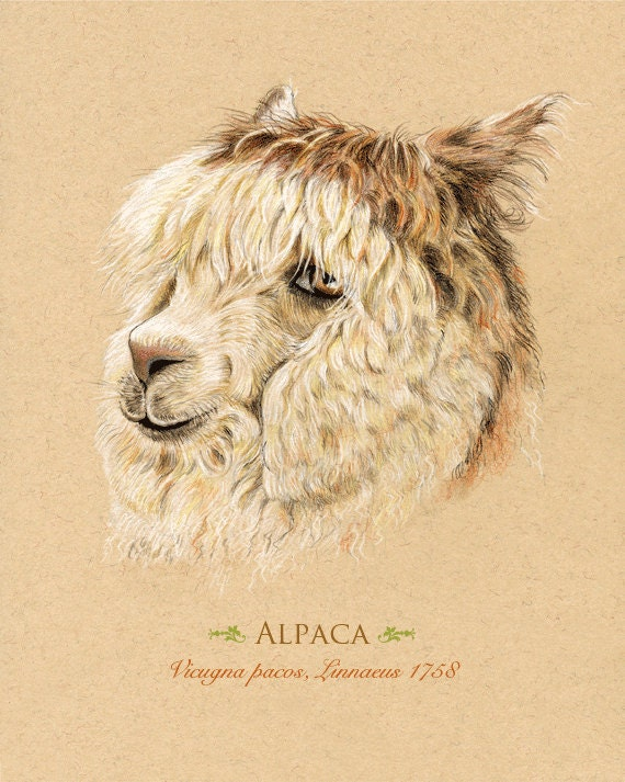 Alpaca Art Print, Giclee, Can be Personalized, 8 x 10 inches