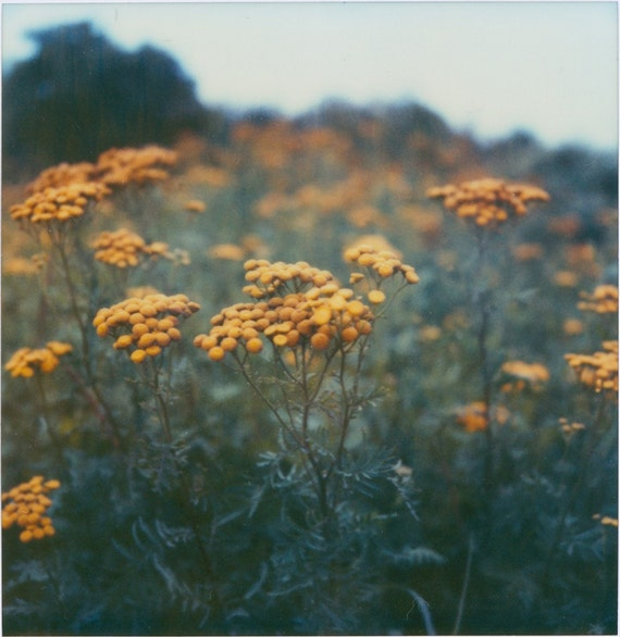 Field of Yellow Pompom Wild Flowers in Fog Photo Print - Floral Landscape Photography - New England Coast - Expired Film Photo - Foggy Days