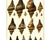 Melongenid Shells - Seba's Cabinet of Natural Curiosities to Frame or for Altered Art, Collage, Paper Arts, Mixed Media and MORE
