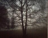 Ribbon tree in the dusk.