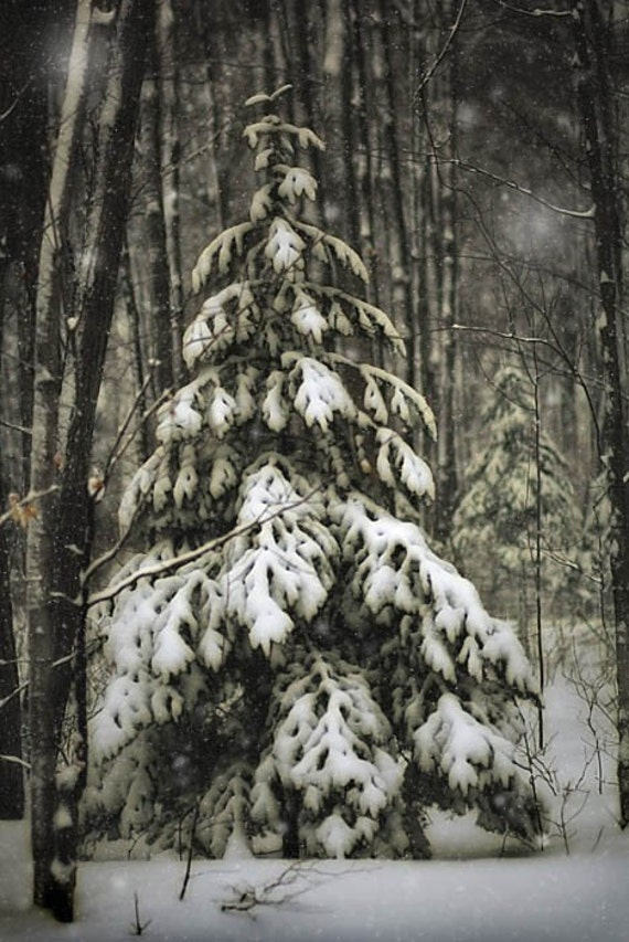 winter decor landscape photography fir pine trees snow home decor holiday gift