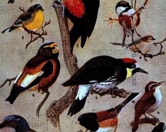 Vintage 1926 Color Lithograph Western Birds Allan Brooks Illustrator