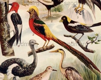 1908 Order of Birds Chromolithograph Chart for Framing