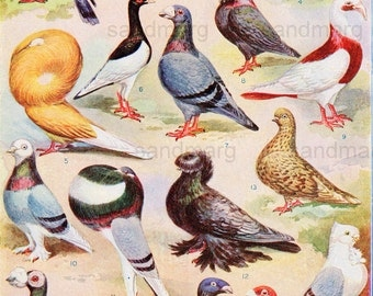 Pigeons and Commercial Plants Double Sided  Edwardian 1904 Chart for Framing