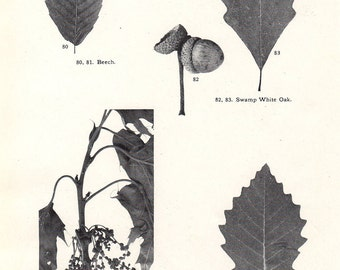 Antique Chart Oak Beech Chestnut Leaves Fruits Trees Botanical Print to Frame