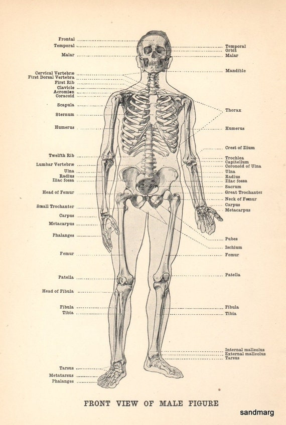 Human Anatomy Front View of Male Figure Skeleton 1911