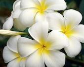 White Plumeria Fine Art Photo Greeting Card - Frangipani Flower Note Card Blank Inside Nature Photography White Hawaiian Flower Photography