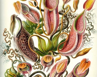 Instant Download Haeckel  Nepenthaceae Pitcher Plants Monkey Cups You Print Digital Image